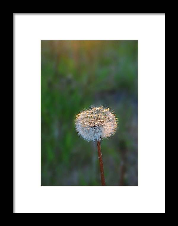 Dandelion Framed Print featuring the photograph Morning Light by Marilynne Bull
