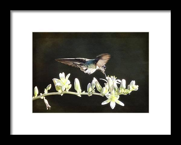 Hummingbirds Framed Print featuring the photograph Morning Nectar Flyby by Saija Lehtonen