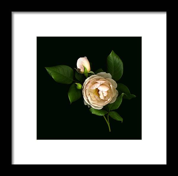 Scanography Framed Print featuring the photograph Morning Rose Buds by Deborah J Humphries