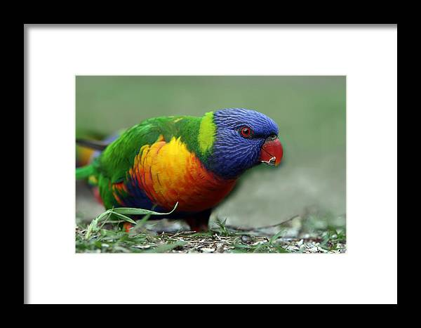 Lorikeet Framed Print featuring the photograph Morning Snack by Lesley Smitheringale