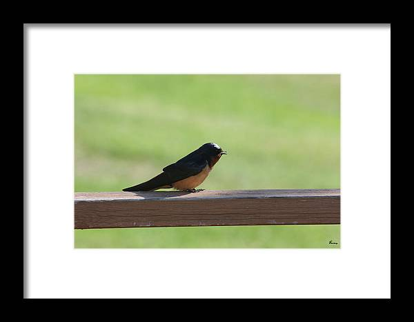 Barn Swallow Nesting Bird Singing Nature Wild Framed Print featuring the photograph Morning Song by Andrea Lawrence