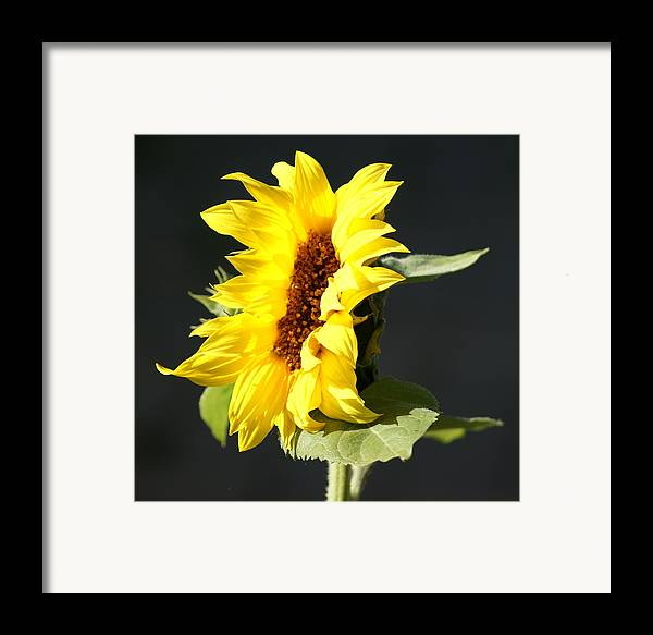 Flower Framed Print featuring the photograph Morning Sunflower by Liz Vernand