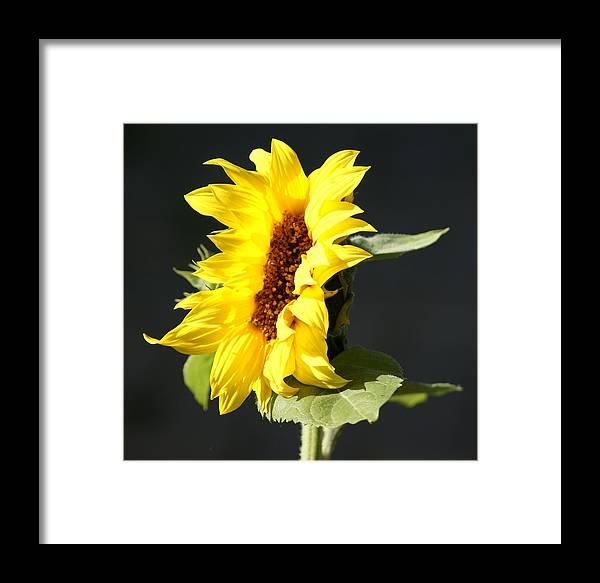 Flower Framed Print featuring the photograph Morning Sunflower by Liz Vernand