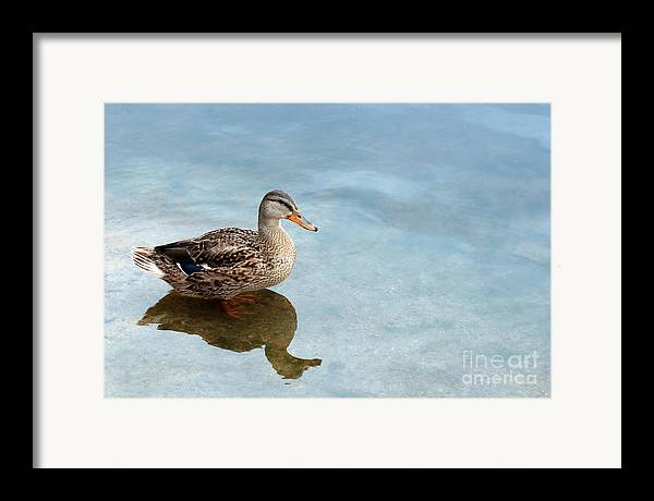 Duck Framed Print featuring the photograph Morning Swim by Jeannie Burleson