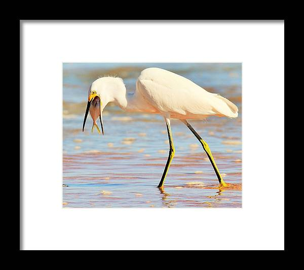 Bird Framed Print featuring the photograph Morning Walk 3 by Maricel Barber
