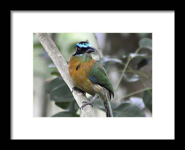 Nature Framed Print featuring the photograph Mot-mot by Michael Lilley