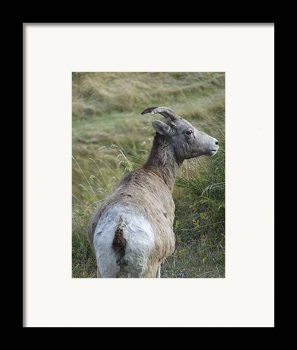 Bighorn Sheep Framed Print featuring the photograph Mother Bighorn by Tiffany Vest
