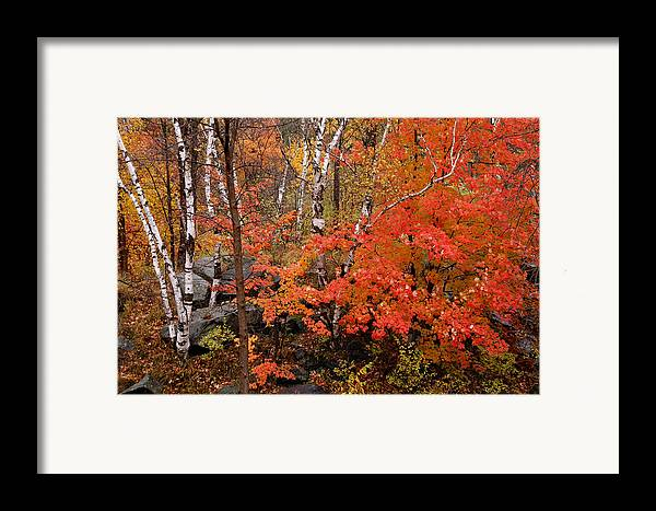 Birch Trees Framed Print featuring the photograph Mother Nature's Palette by Linda McRae