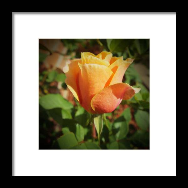 Rose Framed Print featuring the photograph Mother's Rose by KaFra Art