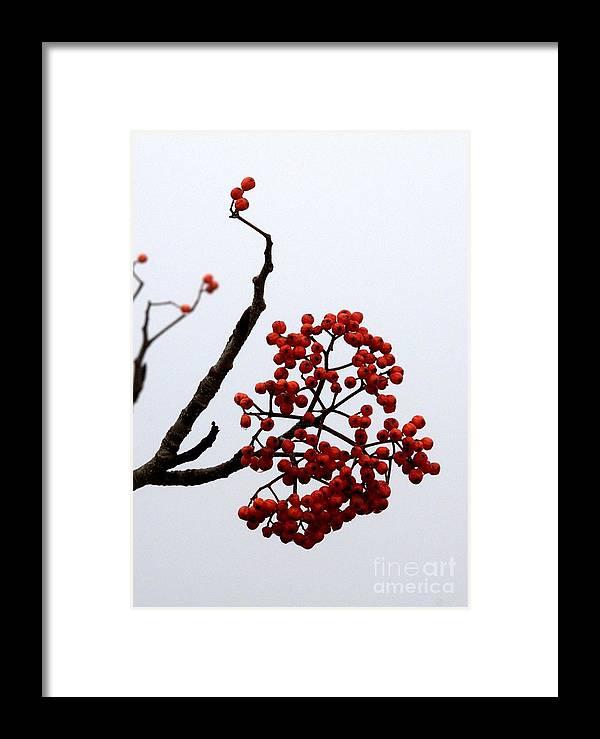 Berries Framed Print featuring the photograph Mountain Ash by Bernd Billmayer