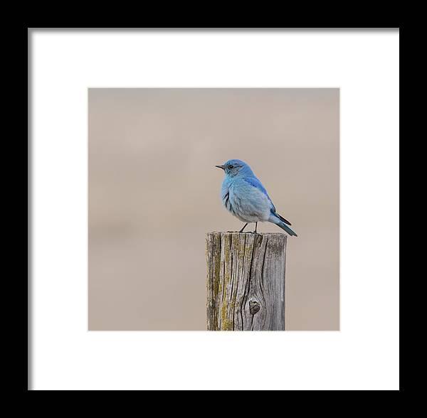 Nature Framed Print featuring the photograph Mountain Bluebird by Jonathan Samson