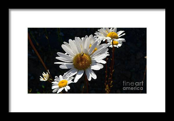 Flowers Framed Print featuring the photograph Mountain Daisy by Larry Keahey