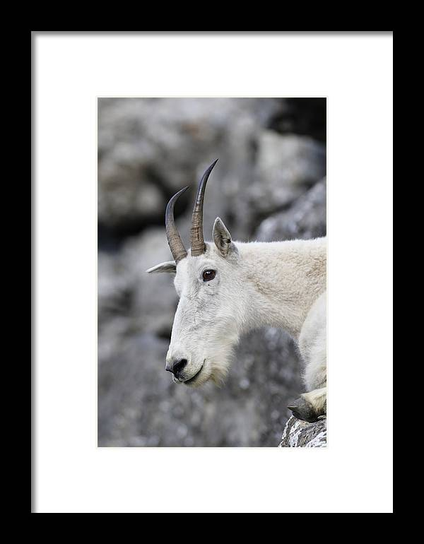 Mountain Goat Framed Print featuring the photograph Mountain Goat At Rest by Michael Bowland