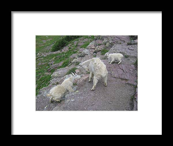 Framed Print featuring the photograph Mountain Goats by Diane Wallace