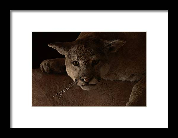 Cougar Framed Print featuring the photograph Mountain Lion A Large Graceful Cat by Christine Till