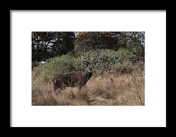 Nyala Framed Print featuring the photograph Mountain Nyala by Aidan Moran