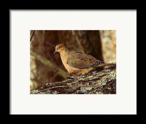 Photo Framed Print featuring the photograph Mourning Dove At Dusk by Amy Tyler