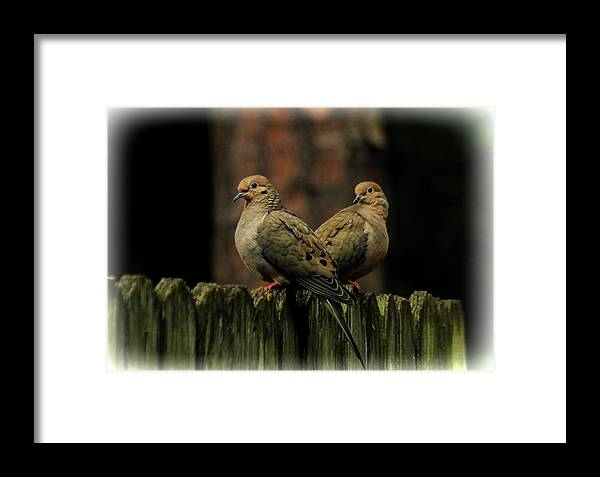 Dove Framed Print featuring the photograph Mourning Doves by Ola Allen