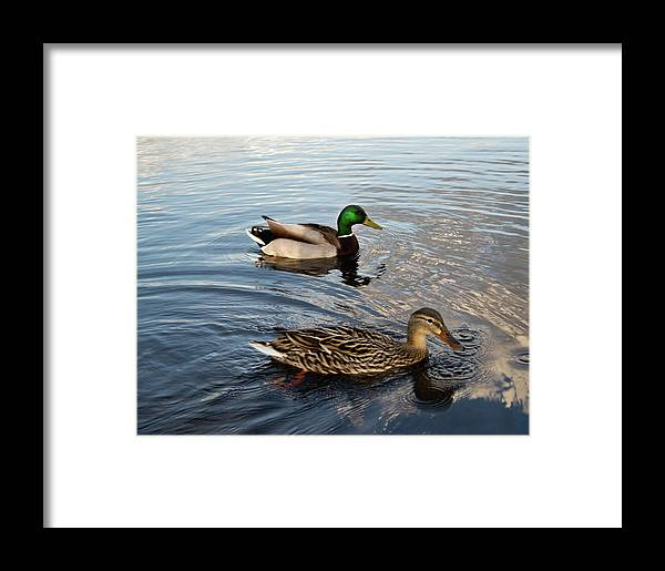 Mallard Framed Print featuring the photograph Mr And Mrs Duck On Parade by Douglas Barnett