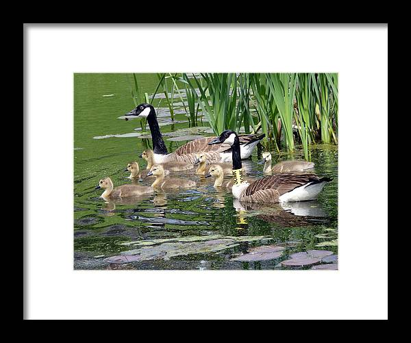 Wildlife Framed Print featuring the photograph Mr And Mrs Goose And Family by Janice Drew