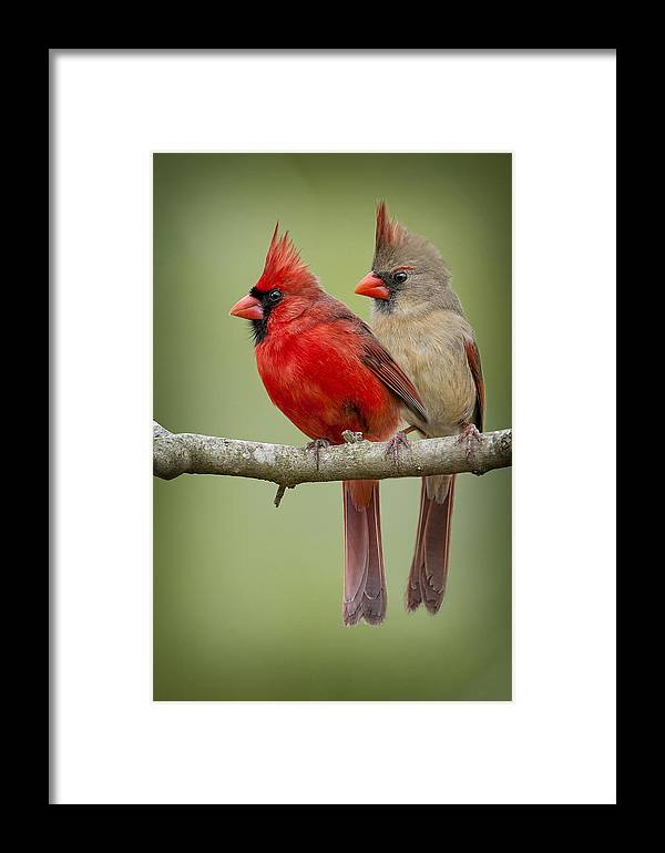 Northern Cardinal Pair Framed Print featuring the photograph Mr. And Mrs. Northern Cardinal by Bonnie Barry