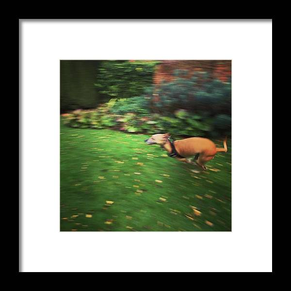 Lurcher Framed Print featuring the photograph Mr Finly Enjoying A Few Rapid Laps Of by John Edwards