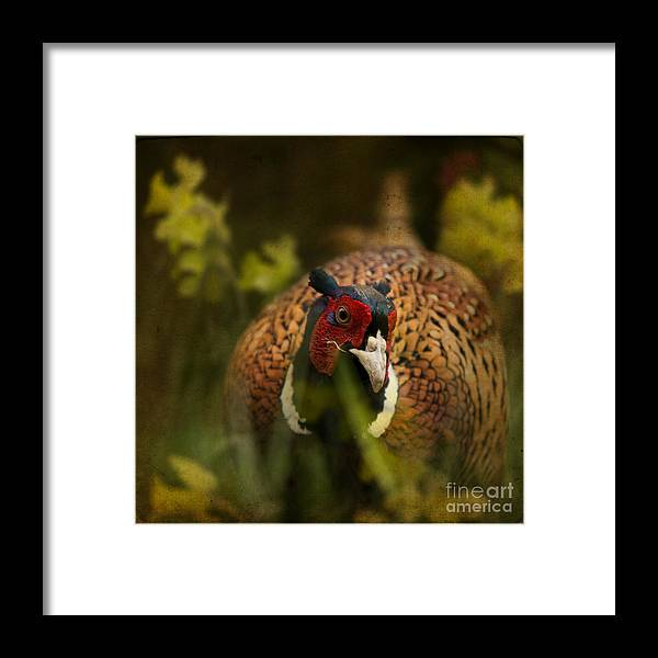 Pheasant Framed Print featuring the photograph Mr Spring by Angel Ciesniarska
