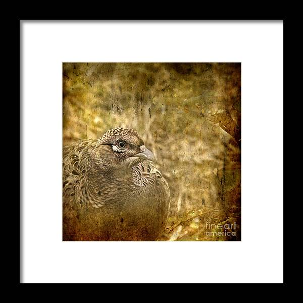 Pheasant Framed Print featuring the photograph Mrs Pheasant by Angel Ciesniarska