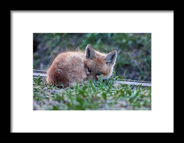 Baby Framed Print featuring the photograph Mrs. by Sandy Chinski