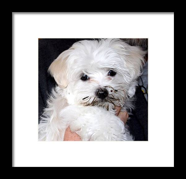 Maltese Puppy Dog Framed Print featuring the photograph Muddy Maltese by BJ Redmond