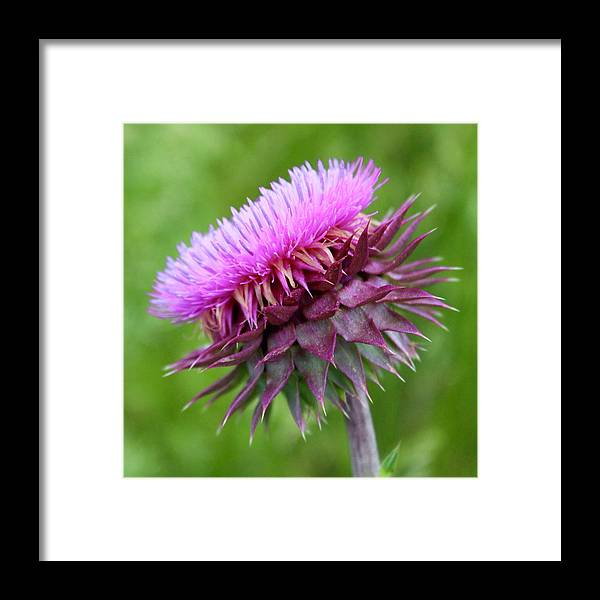 Photograph Framed Print featuring the photograph Musk Thistle Blooming by Mandy Elliott