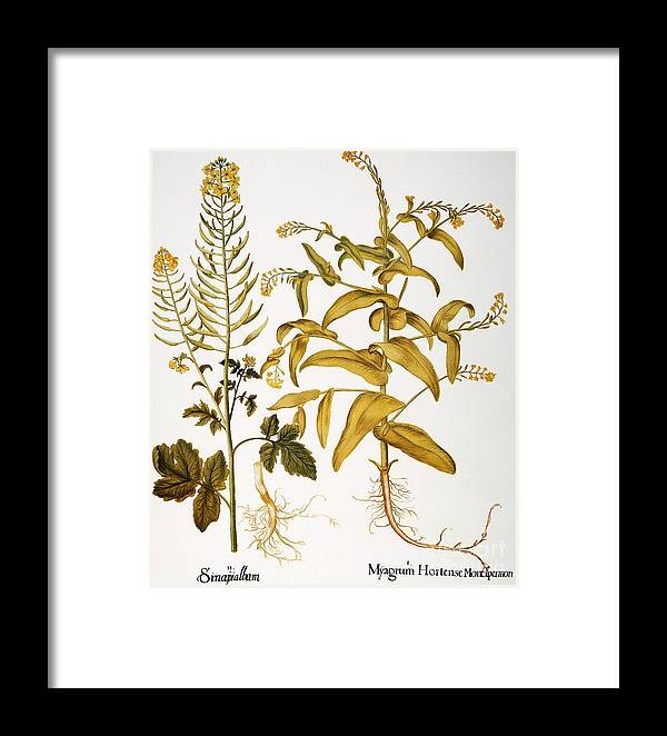 1613 Framed Print featuring the photograph Mustard Plant, 1613 by Granger