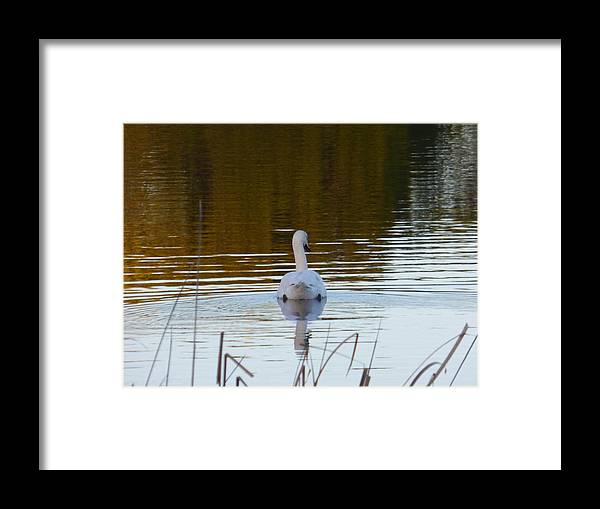 Mute Swan Framed Print featuring the photograph Mute Swan Swimming Away by Andrea Freeman