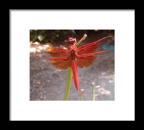 Dragonfly Framed Print featuring the photograph My Dragonfly by Gail Salitui