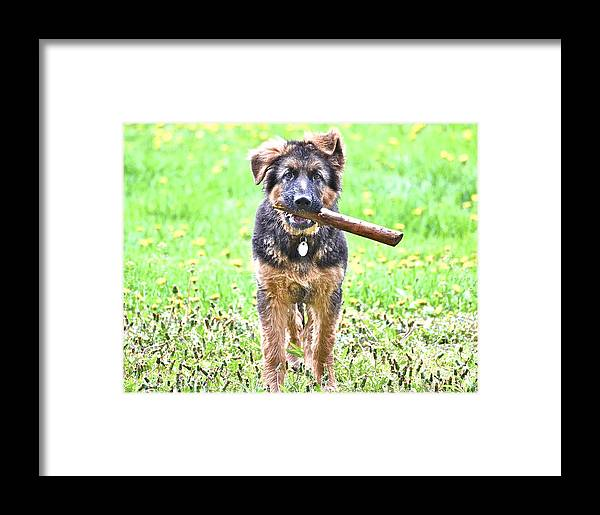 German Shepherd Dog Framed Print featuring the photograph My Favorite Stick by Danielle Sigmon