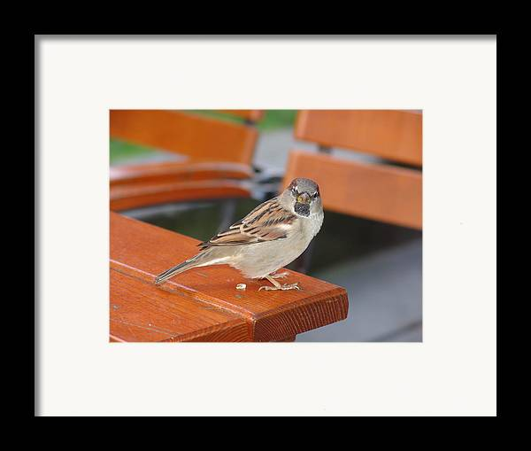 Sparrow Framed Print featuring the photograph My Little Friend In Berlin by Kevin Callahan