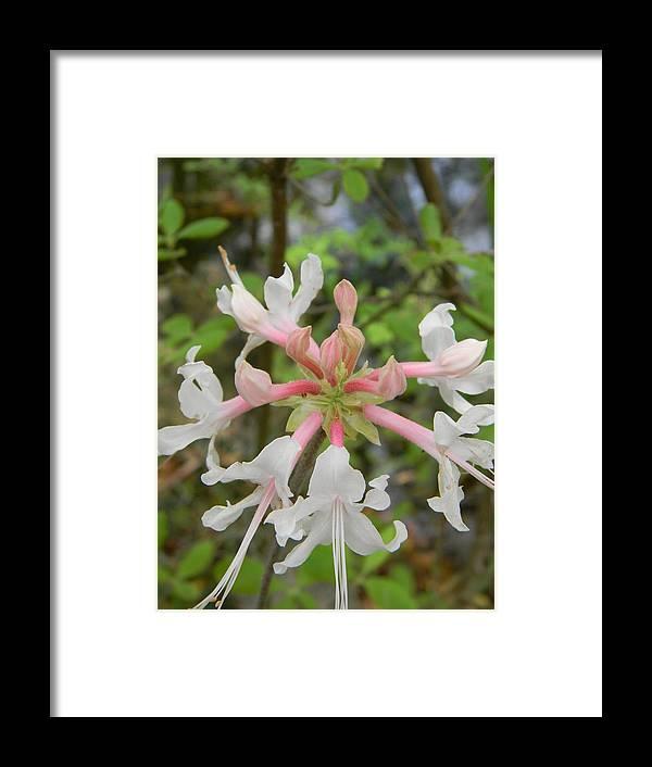 Mystery Flower Framed Print featuring the photograph Mystery Flower Is Florida Pinxter Azalea by Warren Thompson