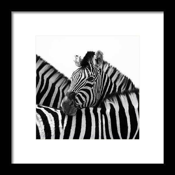 Namibia Framed Print featuring the photograph Namibia Zebras III by Nina Papiorek