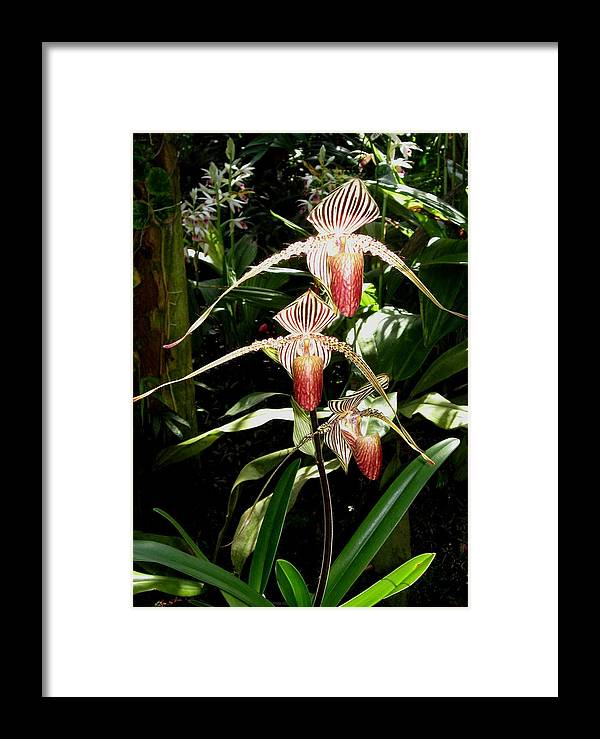 Orchid Framed Print featuring the photograph Nancys Paphiopedilum by Betnoy Smith