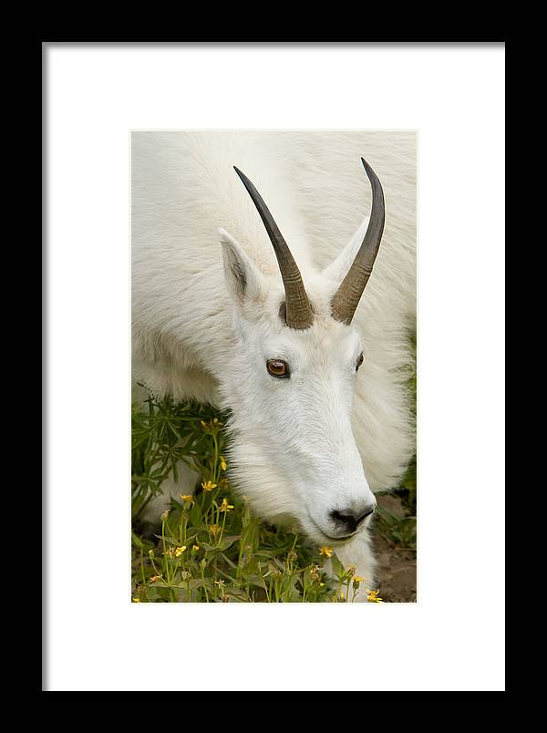 Mountain Goat Framed Print featuring the photograph Nanny Close Up by Kent Keller