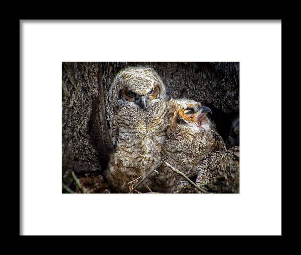Great Horned Owl Framed Print featuring the photograph Nap time by Rrrose Pix
