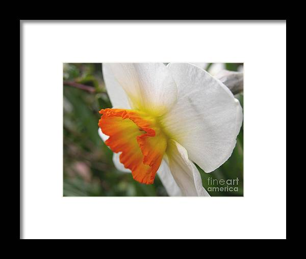 Flower Framed Print featuring the photograph Narcissus II by Michelle Hastings