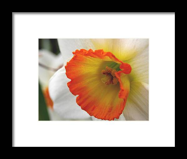 Flower Framed Print featuring the photograph Narcissus by Michelle Hastings