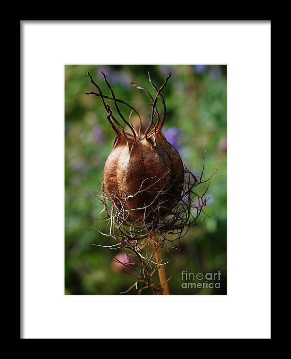 New England Framed Print featuring the photograph Nature's Seed Vase by Virginia Levasseur