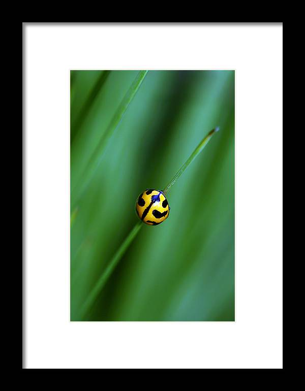 Lady Beetle Framed Print featuring the photograph Nature's Tightrope by Lesley Smitheringale