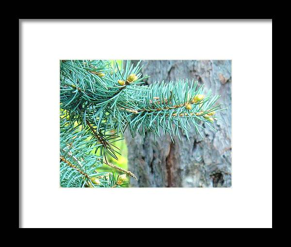 Pine Framed Print featuring the photograph Needles by Ian MacDonald