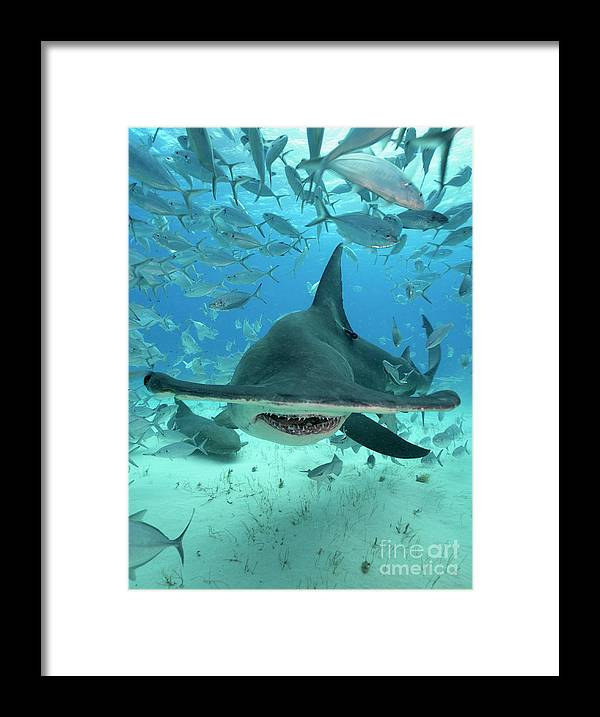 Great Hammerhead Shark Framed Print featuring the photograph Nemesis by Aaron Whittemore