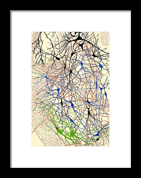 History Framed Print featuring the photograph Nerve Cells Santiago Ramon Y Cajal by Science Source
