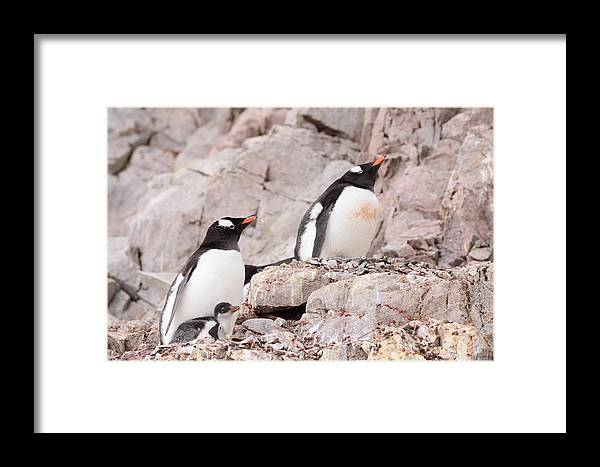 Penguin Framed Print featuring the photograph Nesting Gentoo Penguins by Bruce J Robinson