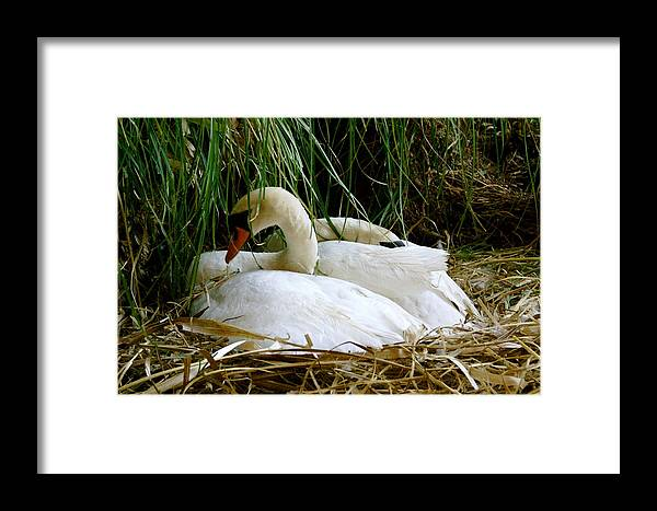 Animals Framed Print featuring the photograph Nesting Swans by Sonja Anderson